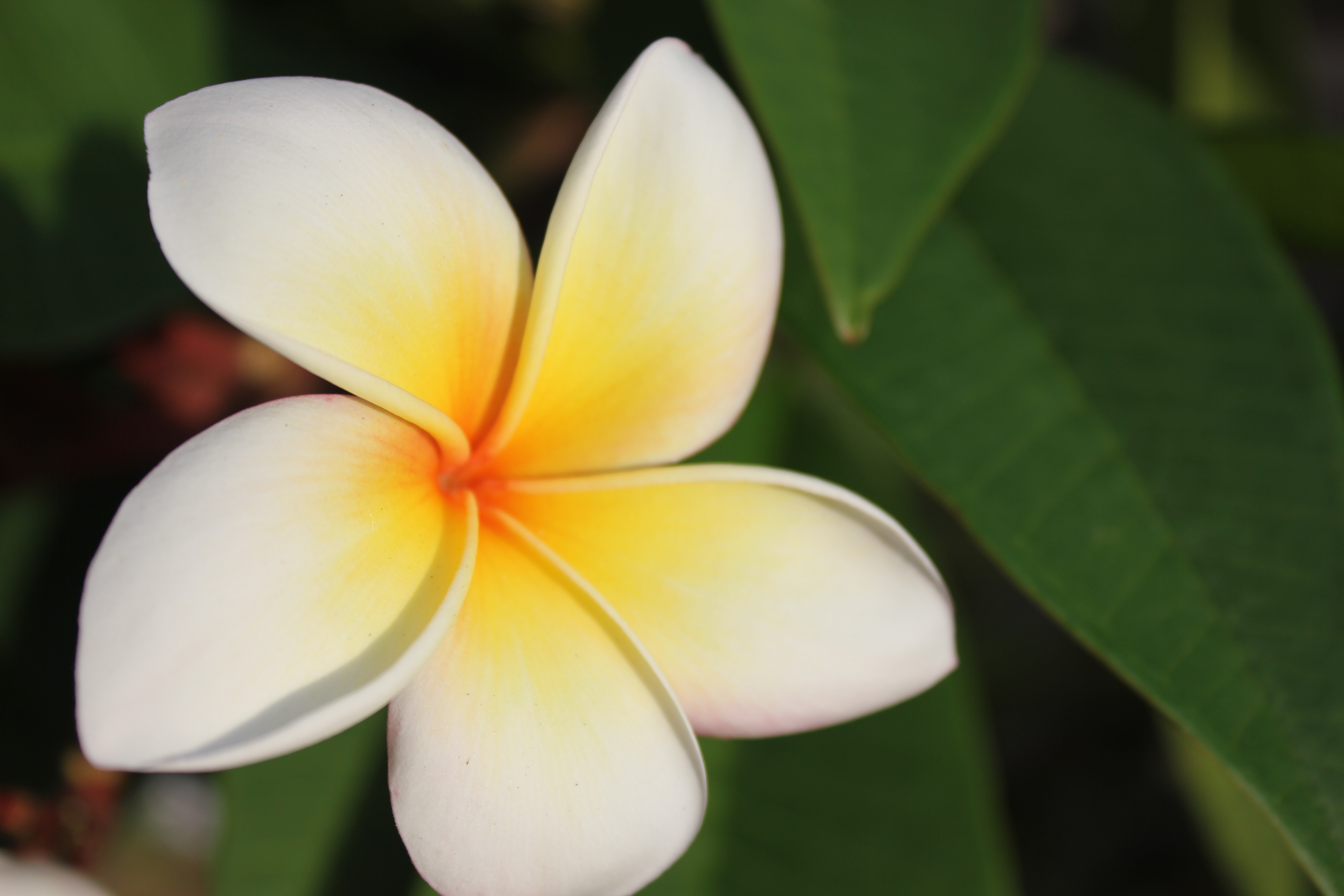 Plumeria, fleur de frangipanier \u2013 Thaïlande